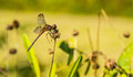 Dragon fly on the bud Royalty Free Stock Images