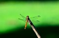 Dragon fly close up of a Stock Photo