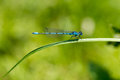 Dragon Fly, common blue damselfly Royalty Free Stock Photo