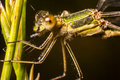 Dragon fly on corn Royalty Free Stock Photo