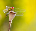 Dragon fly dry pod poppy flower Royalty Free Stock Photo