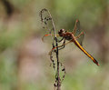 Dragon Fly Florida Stock Image