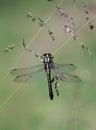 Dragon fly odonata hanging on grass stem Royalty Free Stock Image