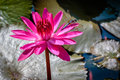 Dragon Fly on a Pink Water Lily Royalty Free Stock Photo