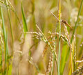 Dragon fly seat rice field Royalty Free Stock Photos