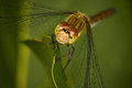 Dragon fly slanting in front Stock Photography