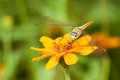 Dragon fly staring at you while resting on orange flower nature background Royalty Free Stock Photos