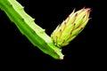 Dragon fruit bud on tree Royalty Free Stock Photography
