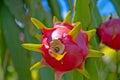 Dragon fruit, hylocereus