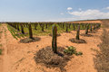 Dragon fruit trees in the garden on the deserts at phan thiet binh thuan vietnam people plant them pillars sand Stock Photos