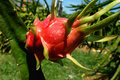 Dragon fruits Royalty Free Stock Photography