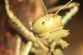 Dragon head cricket Royalty Free Stock Photo