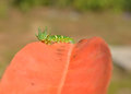 Dragon Headed Caterpillar Images libres de droits