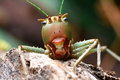Dragon- Headed Katydid