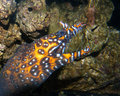 Dragon moray Stock Image