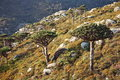 Dragon tree with Socotra mountains background Stock Image