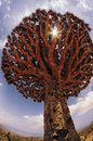 Dragon Tree. Yemen. Socotra. Endemic plants. Royalty Free Stock Photo