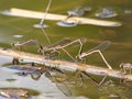 Dragonflies in love sitting on pond surface Royalty Free Stock Photography
