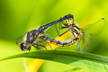 Dragonflies mating keeled skimmer male and female on the leaf Stock Image