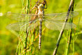Dragonfly against green grass background Royalty Free Stock Photography