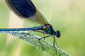 Dragonfly beautiful with dew drops on a meadow Royalty Free Stock Photos