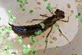 Dragonfly big larva closeup in the water Stock Photos