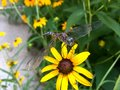 Dragonfly on black eyed susan lacy perched Stock Images