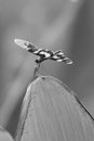 Dragonfly In Black And White