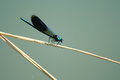 Dragonfly with black wings Royalty Free Stock Photo