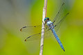 Dragonfly Blue Dasher