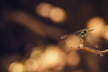 Dragonfly bokeh a picture of a with a beautiful background Stock Photography