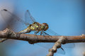 Dragonfly on a branch Royalty Free Stock Photo