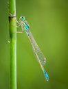 Dragonfly on branch with flat bottom and space for text Royalty Free Stock Photo