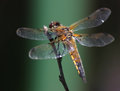 Dragonfly on a branch four spotted chaser libellula quadrimaculata russia near moscow Stock Photography