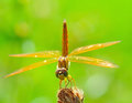 Dragonfly on a branch with green nature background Royalty Free Stock Images