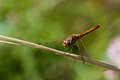 Dragonfly on a branch macro photography Stock Images