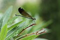 Dragonfly on a branch plant Royalty Free Stock Photo