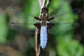 Dragonfly - Broad-bodied Chaser Royalty Free Stock Images