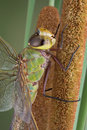 Dragonfly on cattail Royalty Free Stock Image