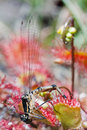Dragonfly caught by Sundew. Royalty Free Stock Image
