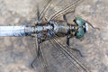 Dragonfly the close up of blue scientific name orthetrum melania Stock Image
