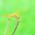Dragonfly close up in garden Royalty Free Stock Photo