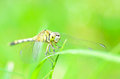 Dragonfly close up in garden Royalty Free Stock Images