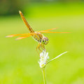 Dragonfly close up in garden Stock Photography
