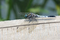 Dragonfly the close up of scientific name orthetrum melania Royalty Free Stock Image