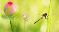 Dragonfly close up with water lily flowers Royalty Free Stock Photo