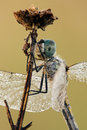 Dragonfly closeup Royalty Free Stock Photos