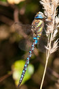 Dragonfly closeup of a blue aeshna mixta Royalty Free Stock Photography