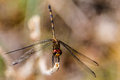 Dragonfly closeup photography big insect in detail with wings Stock Photography