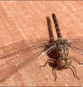 Dragonfly Closeup Pic With Beautiful Wings
